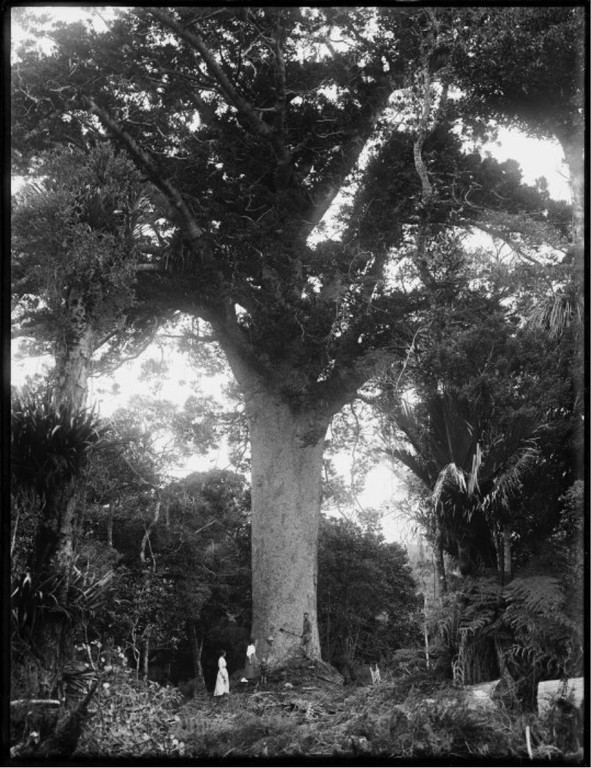 Kauri tree, Northland. Northwood brothers :Photographs of Northland. Ref: 1/1-006247-G. Alexander Turnbull Library, Wellington, New Zealand.http://natlib.govt.nz/records/23213108. Permission of the Alexander Turnbull Library, Wellington, New Zealand, must be obtained before any reuse of this image.